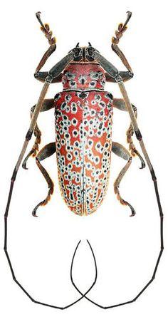 (Peritrox marcelae) Longicorn beetle Brazil