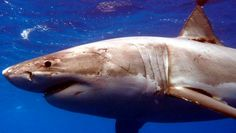 Warnings issued after a 4.5m great white shark was hooked and then escaped in Auckland's Waitemata Harbour.