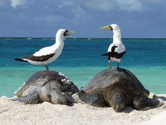 Twitter / sanctuaries: Masked boobys in French Frigate Shoals saddled up to the turtle bar for Friday fun.