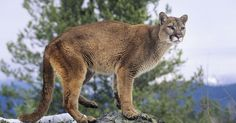 Guy punches cougar to save his dogs  Will Gibb, a 31-year-old technician from Red Deer, had pulled up to a Tim Hortons for coffee and let his dogs Sasha and Mongo out of his truck for a quick run around the parking lot, according to the Royal Canadian Mounted Police.