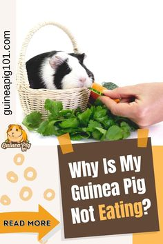 What does it mean when your guinea pig doesn't eat. What do you do if your guinea pig won't eat | Can guinea pigs die from not eating | Guinea pig not eating hay or pellets or veggies | Guinea pig not eating after surgery | Guinea pig not eating breathing heavy | Syringe-feeding your guinea pigs | Why is my guinea pig not eating her hay | #guineapig101 #guineapigs #pets #smallpets Guinea Pig Food, Pet Guinea Pigs, Guinea Pig Information, Foods To Avoid, Surgery, Veggies, Pets, Vegetable Recipes, Vegetables