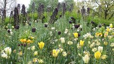 Tulpaner, lökar, planteringar