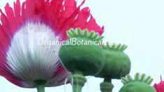 P Somniferum Poppy Flower Photography+Original Music by OrganicalBotanicals Flower Photography, Original Music, Poppy, Exotic, Seeds, Spices, Make It Yourself, The Originals, Flowers
