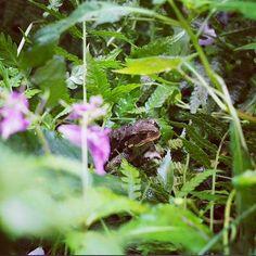 【mashas3】さんのInstagramをピンしています。 《ガサゴソしてた音の主は… Who does make a rustling sound? * * * * #ヒキガエル #カエル #ツリフネソウ #森 #秋 #自然 #里山 #花 #はなまっぷ #toad #frog #jewelweed #flower #flowers #flowerstagram #nature #naturelovers #naturelover #naturegram #写真好きな人と繋がりたい #wildflowers #prettyweeds》