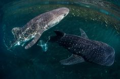 The whale sharks as they were beingreleased from their holding pen. Photo by Paul Hilton