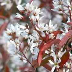 Amelanchier La Paloma | Snowy Mespilus Tree| Service Berry Tree