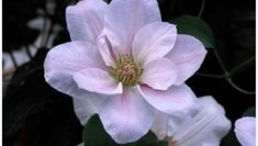 Clematis 'Chantilly' ™