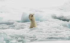 Photographer Colin Mackenzie took this photo of a polar bear showing off some kung fu moves in the frozen landscape of Svalbard, Sweden. Picture: COLIN MACKENZIE / MERCURY PRESS // via telegraph.co.uk - picturesoftheday