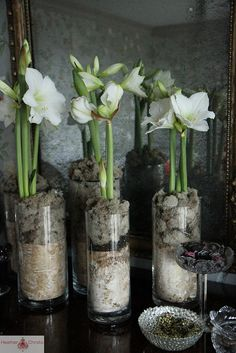 amaryllis by Heather Christo Christmas Flowers, Winter Flowers, Christmas Decorations, Amaryllis Plant, Amaryllis Bulbs, Garden Bulbs, Planting Bulbs, Bulb Flowers, Flower Pots