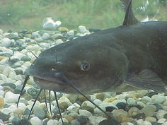 Catfish Used to catch these when I was little.