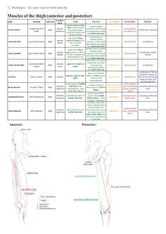 C.RiedingerAneasywaytolearnmusclesMusclesofthethigh(anteriorandposterior)                                  ...