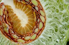 Milkweed Seed Pod Cross Section by Bill Shatto