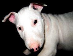 BABY BULLY / Bull terrier Puppy - ears stil down
