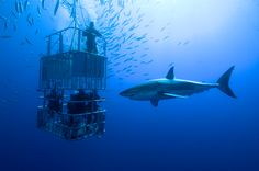 Shark Cage Diving South Africa | Great White Shark Cage Diving, south africa