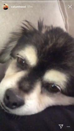 Calum Thomas Hood, Calum Hood, 5sos Instagram, I Love Dogs, Cute Dogs, Cutest Dog On Earth, Harry Styles, Funny Animals, Cute Animals