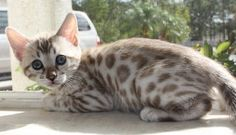 Snow Leopard Bengal kitten - My goodness this cat is adorable! I want a Bengal sooooo bad,