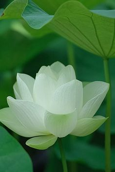 Inside this LOTUS FLOWERS GALLERY gallery album you will find quite a few (total of pictures that you can discover, discuss & give your opinion on. Post + talk about your Lotus Flowers Gallery pics in addition to rating the photos & posting comments. Exotic Flowers, Amazing Flowers, My Flower, White Flowers, Beautiful Flowers, White Lotus Flower, Colorful Roses, Plantation, Planting Flowers