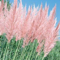 Pink Feather pampas grass seeds - Garden Seeds - Perennial Seeds http://www.swallowtailgardenseeds.com/perennials/pampas_grass.html