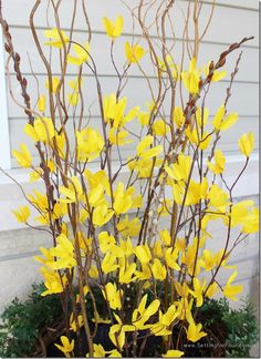 Instant curb appeal! Make these spring urns with a pop of yellow and lots of texture!