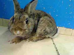Petfinder Adoptable Rabbit | Bunny Rabbit | New York, NY | LITTLE GUY
