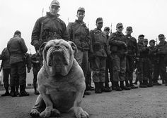 Sergeant Murphy, bulldog, probably of the US Army in West Germany January 01, 1980 . Pinned by Judi Crowe.