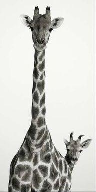 awww giraffes! <3