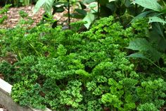 curly leaf parsley Potager Garden, Companion Planting, Medicinal Plants, Parsley, Spices, Herbs, Leaves, Vegetables, Healthy