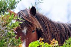 Wild Horse, Shackleford Island, North Carolina