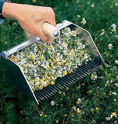Chamomile Rake – Our Farm - Gardening Diy Garden, Edible Garden, Herb Garden, Garden Projects, Garden Plants, Garden Tools, Herb Farm, Garden Seeds, Planting Seeds