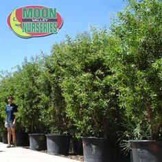 Bottlebrush Hedge Trees