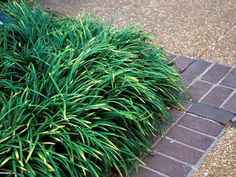 Tired of Mowing? Try These Plants and Groundcovers Instead--Creeping Lilyturf (Liriope spicata) Lily Turf, Monkey Grass, No Grass Backyard, Pergola Pictures, Lawn Sprinklers, Ground Cover Plants, Ornamental Grasses, Lawn And Garden, Landscape Design