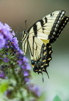 Swallowtail by Bernie Kasper Madame Butterfly, Butterfly Kisses, Butterfly Flowers, Butterfly Wings, Purple Flowers, Flying Flowers, Butterflies Flying, Beautiful Butterflies, Gossamer Wings