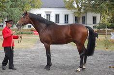 Anglo-Arabian stallion Freeleau