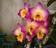 veja flores im 22