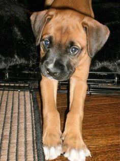 Bulloxer (American BulldogBoxer Mix) Info, Puppies, and