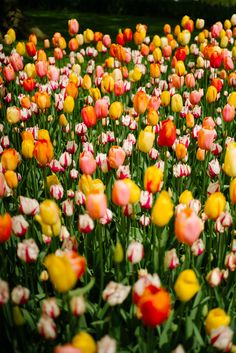 Travel Inspiration for The Netherlands - exploring keukenhof tulip gardens