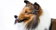 Right breed for you? Shetland Sheepdog information including personality, history, grooming, pictures, videos, how to find a Shetland Sheepdog and AKC standard.