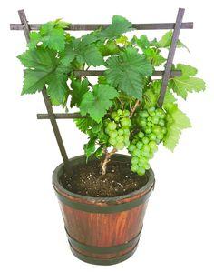 Growing grapes in containers: Pixie gapes - Modern Design Veg Garden, Vegetable Garden Design, Fruit Garden, Bonsai Fruit Tree, Dwarf Fruit Trees, Growing Vegetables In Containers, Container Gardening Vegetables, Gemüseanbau In Kübeln, Grape Trellis