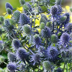 90cm ERYNGIUM BLUE HOBBIT Eryngium planum 'Blue Hobbit' (Large Plant) - Cottage Garden Plants - Van Meuwen
