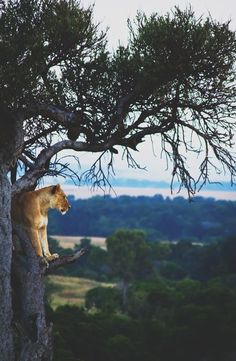 Saw a young lion sleeping in a tree in the oldest safari park of Africa - stunning