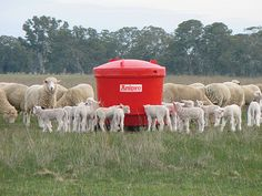 We supply Anipro for sheep, which provides protein, minerals and vitamins to sheep grazing pasture or crop in a safe and cost effective manner. Nutritional Requirements, Farming, Sheep, Outdoor Furniture Sets, Protein, Fiber, Stress, Australia, Anxiety