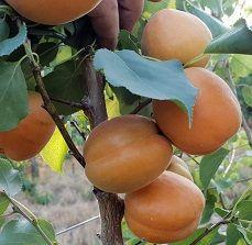 De abrikozen doen het heel goed   Suidafrika weblog Plum, Fruit, Food, Essen, Meals, Yemek, Eten
