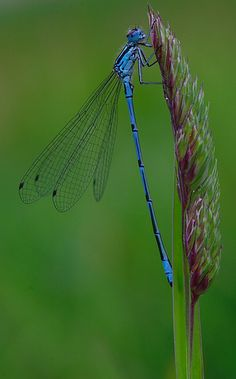 I love dragonflies and damselflies. You can tell the difference when they rest on a plant. The dragonfly will keep his wings open, while the damsel fly closes hers against her back. I also think the damsel fly looks more delicate! Azure Damselfly