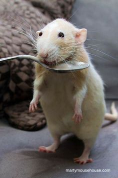 awww....all my ratties are spoon trained , too !