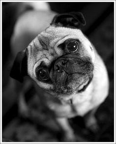 Cutest pug ever. Awww...