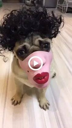 Cute Funny Animals, Cute Baby Animals, Animals And Pets, Cute Animal Videos, Cute Animal Pictures, Funny Dog Videos, Funny Dogs, Pug Videos, It's Funny