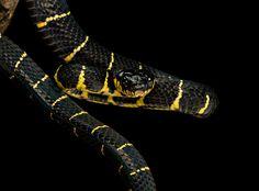 Mangrove snake II by Henrik Vind, via 500px
