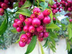 FLORA NEL SALENTO e.. anche altrove: Syzygium paniculatum Gaertn = Eugenia myrtifolia Sims. -