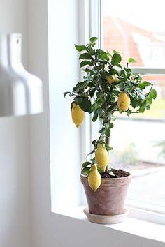 lovely little lemon plant lovely little lemon plant Lemon Plant, Belle Plante, Room With Plants, Colorful Garden, Window Design, Green Plants, Topiary, Garden Pots, Potted Garden