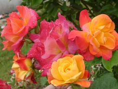 Joseph's coat roses - my favorite! Buds start out yellow, then the blossoms turn from yellow to peach to hot pink. <3